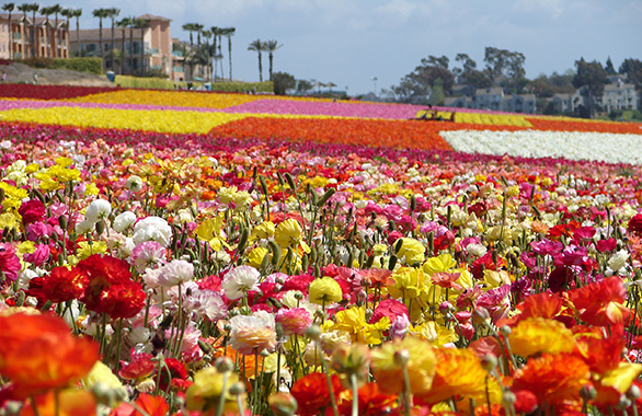 The-Flower-Fields-at-Carlsbad-Ranch_1.jpg